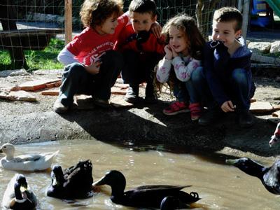 ברווזים בכפר